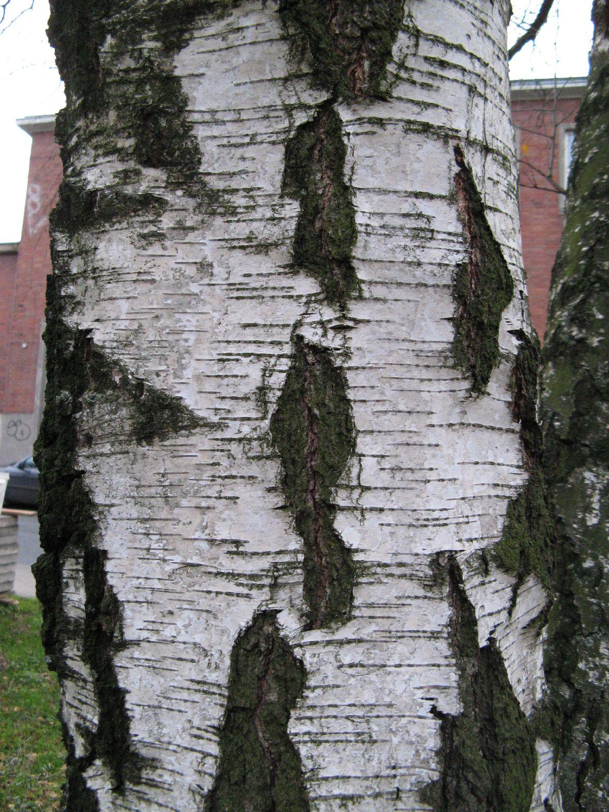 Baum-Rinde_Texturs_B_25690