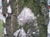 Baum-Rinde_Texturs_B_25660