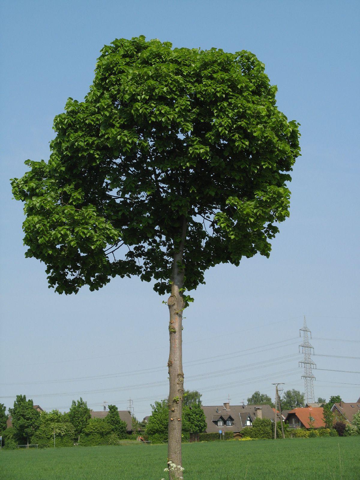Pflanzen-Baum-Foto_Textur_B_00250
