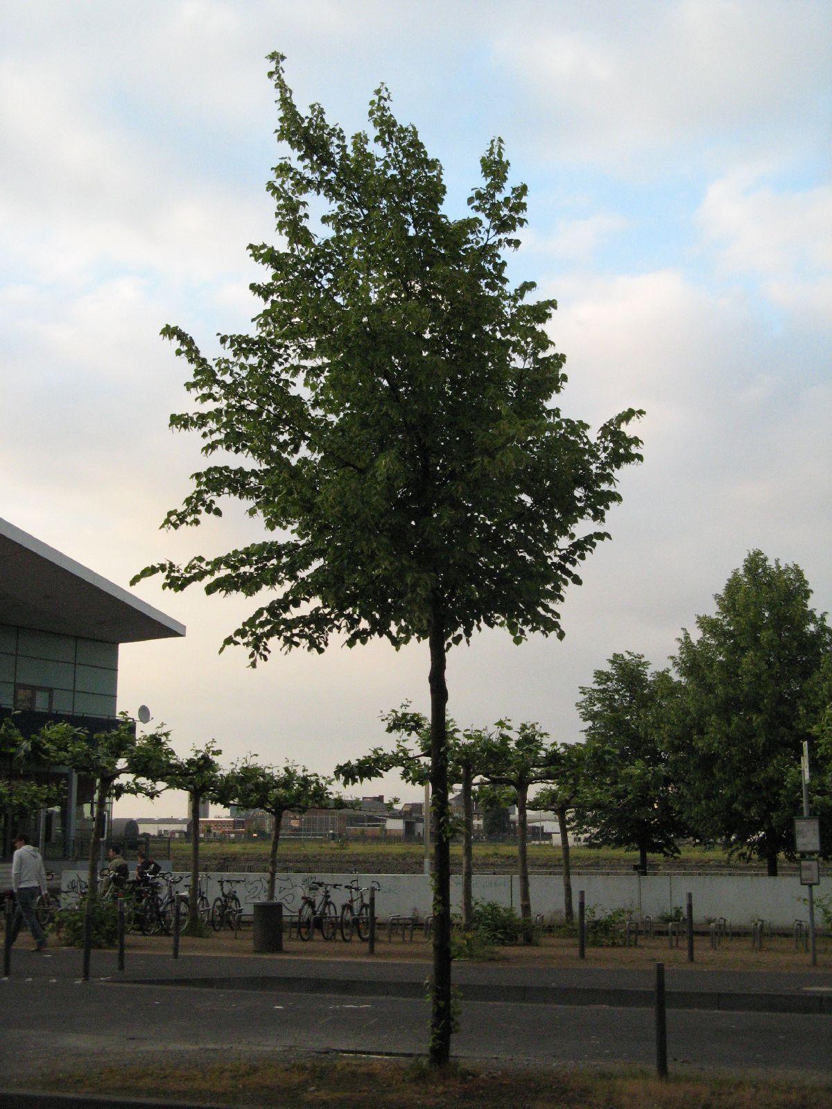 Pflanzen-Baum-Foto_Textur_B_01710