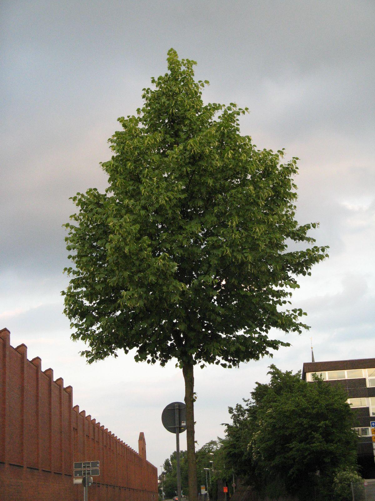 Pflanzen-Baum-Foto_Textur_B_01740