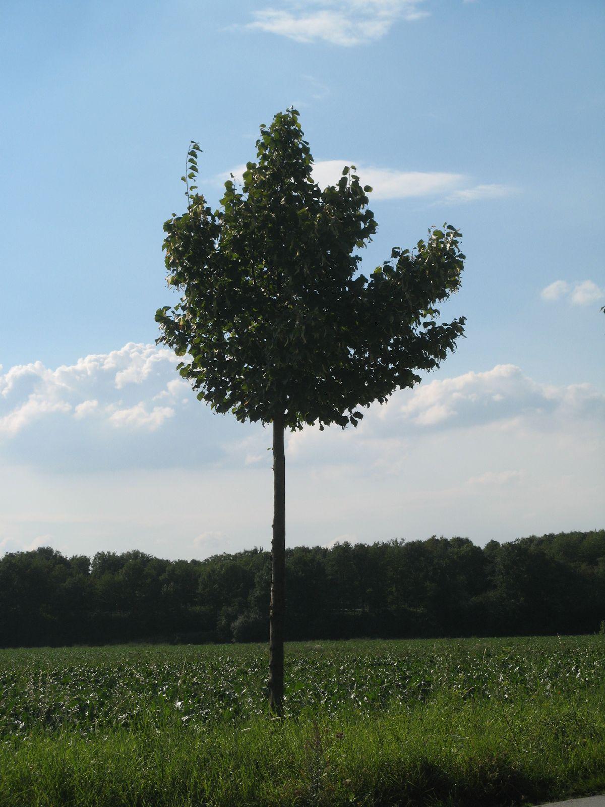 Pflanzen-Baum-Foto_Textur_B_26890