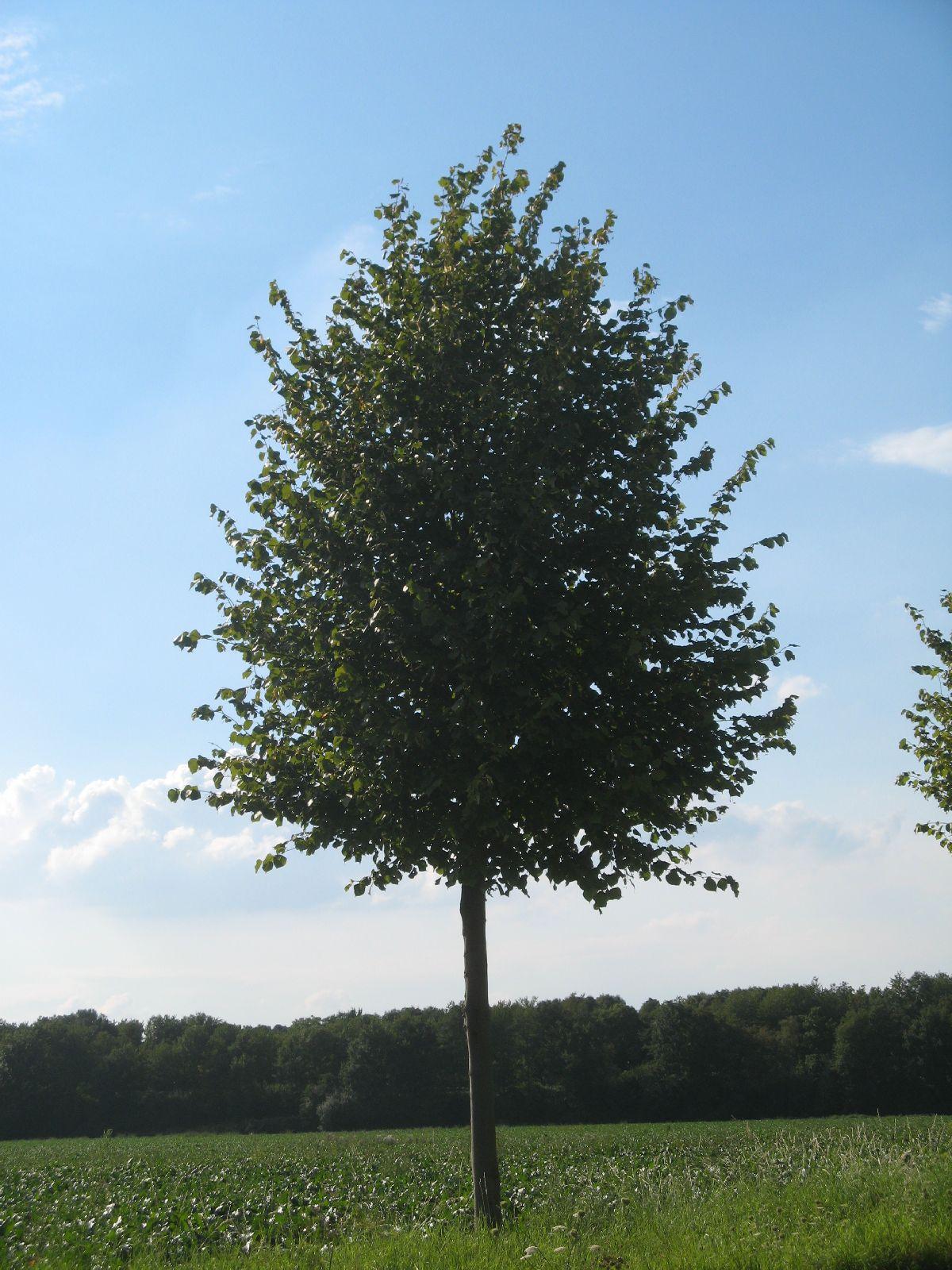 Pflanzen-Baum-Foto_Textur_B_26900