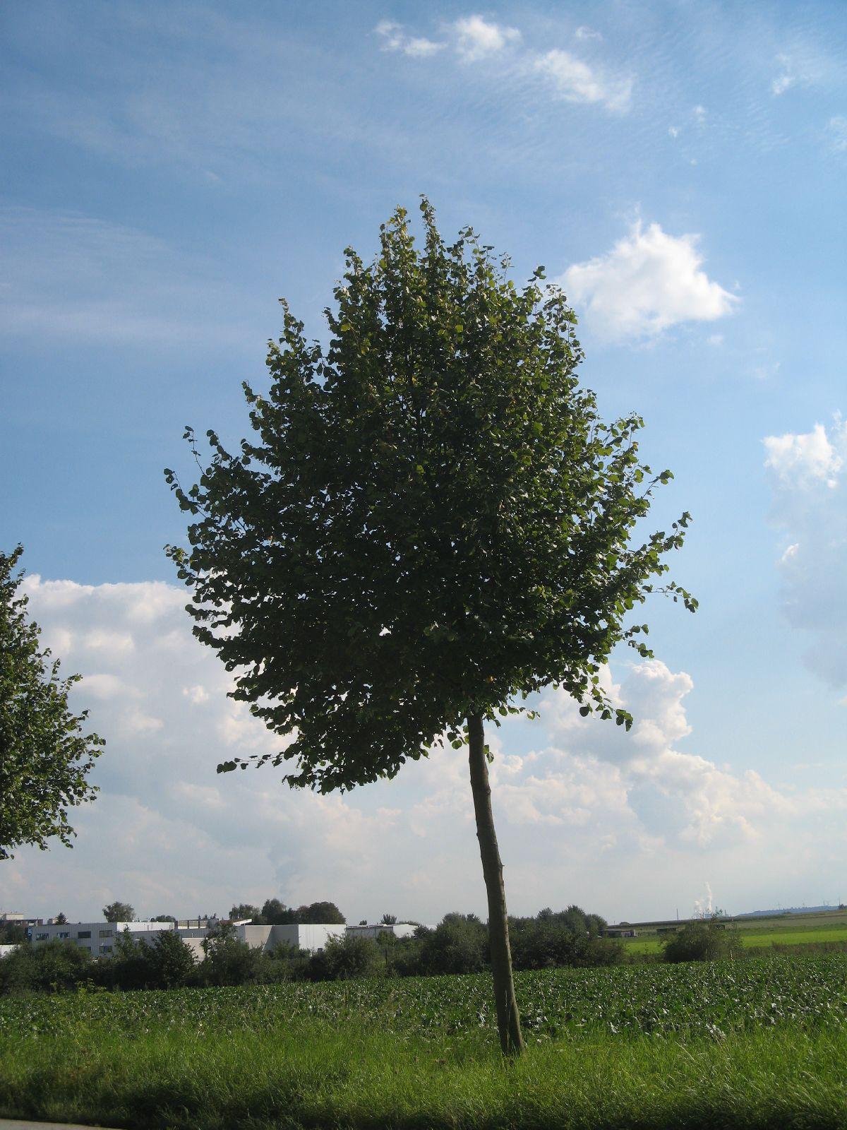 Pflanzen-Baum-Foto_Textur_B_26910