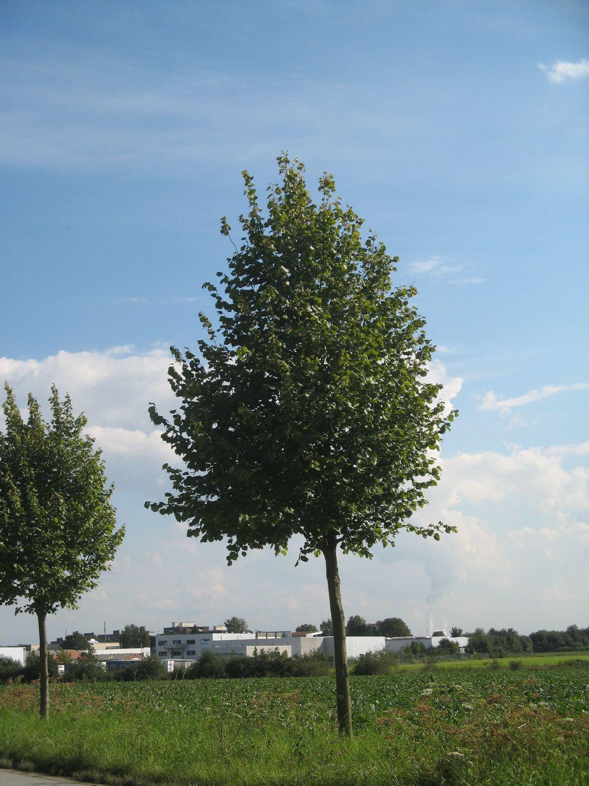Pflanzen-Baum-Foto_Textur_B_26930