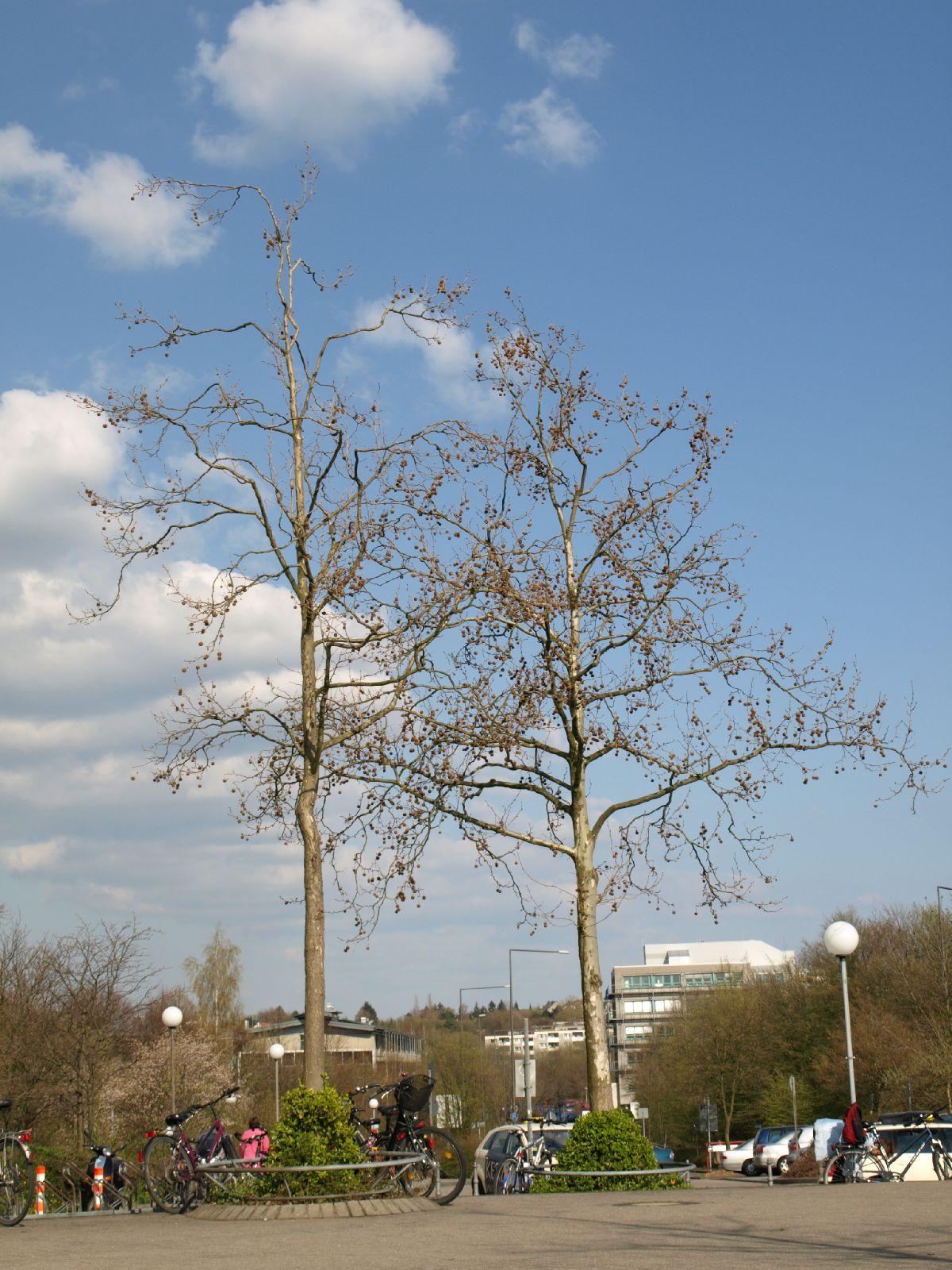 Pflanzen-Baum-Silhouette-Foto_Textur_B_P4171346