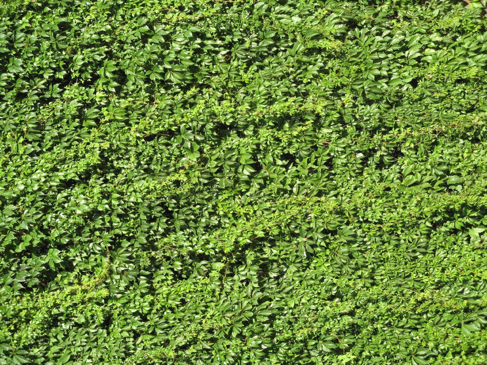 Pflanzen-Hecken-Foto_Textur_B_00758