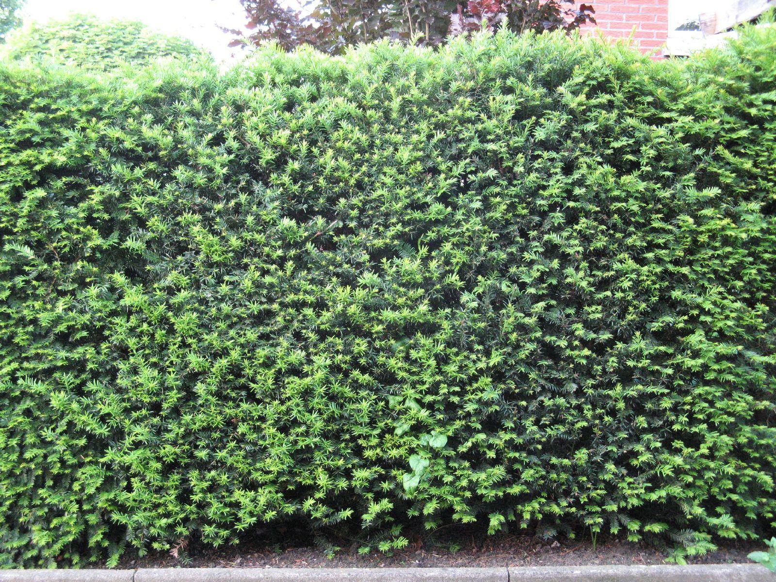 Pflanzen-Hecken-Foto_Textur_B_03090