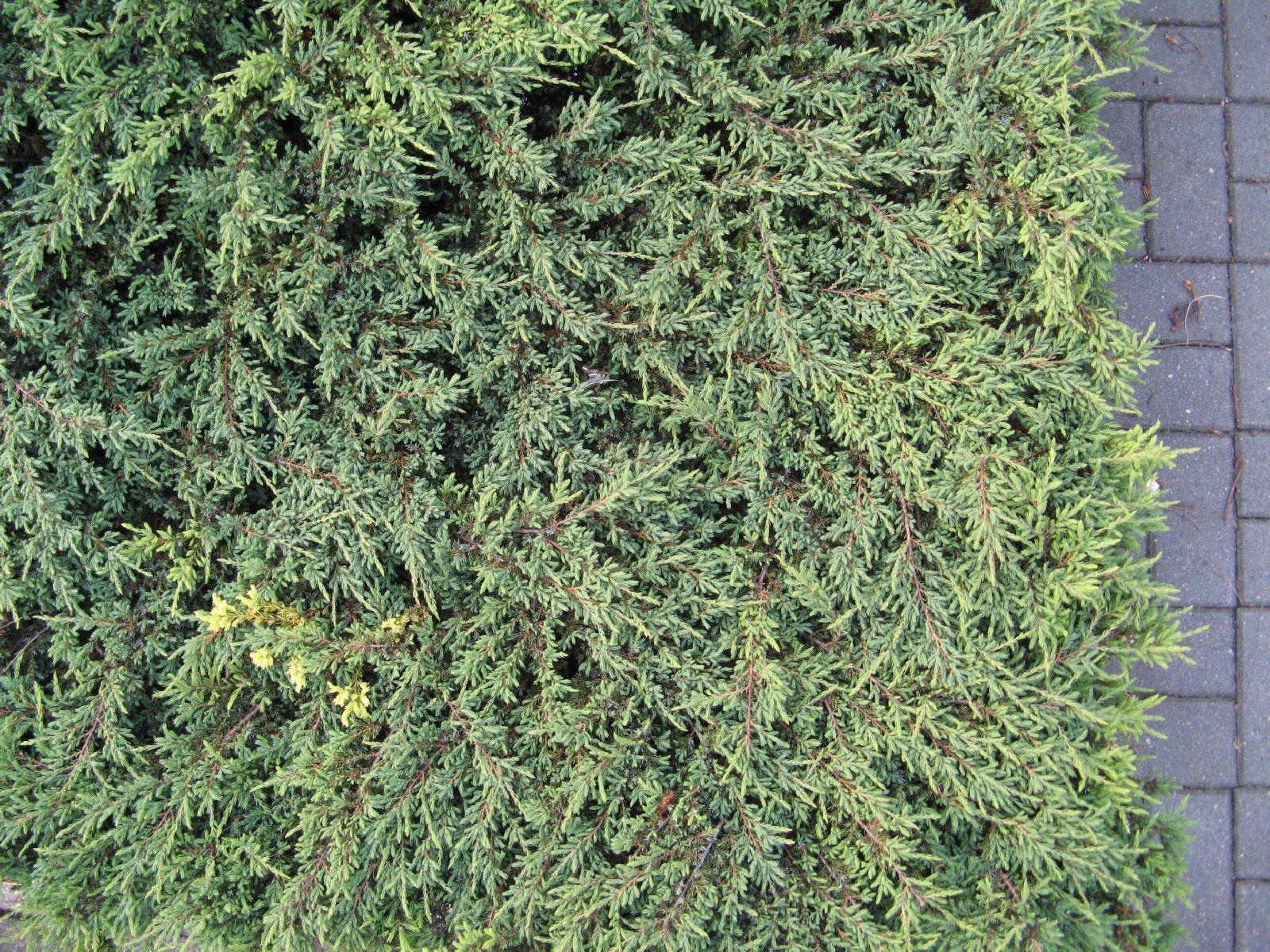 Pflanzen-Hecken-Foto_Textur_B_03170