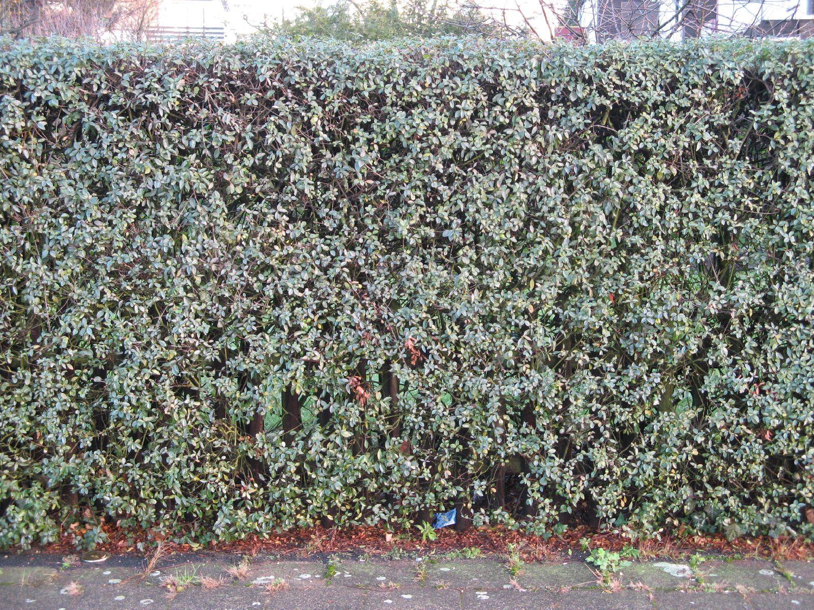 Pflanzen-Hecken-Foto_Textur_B_11830