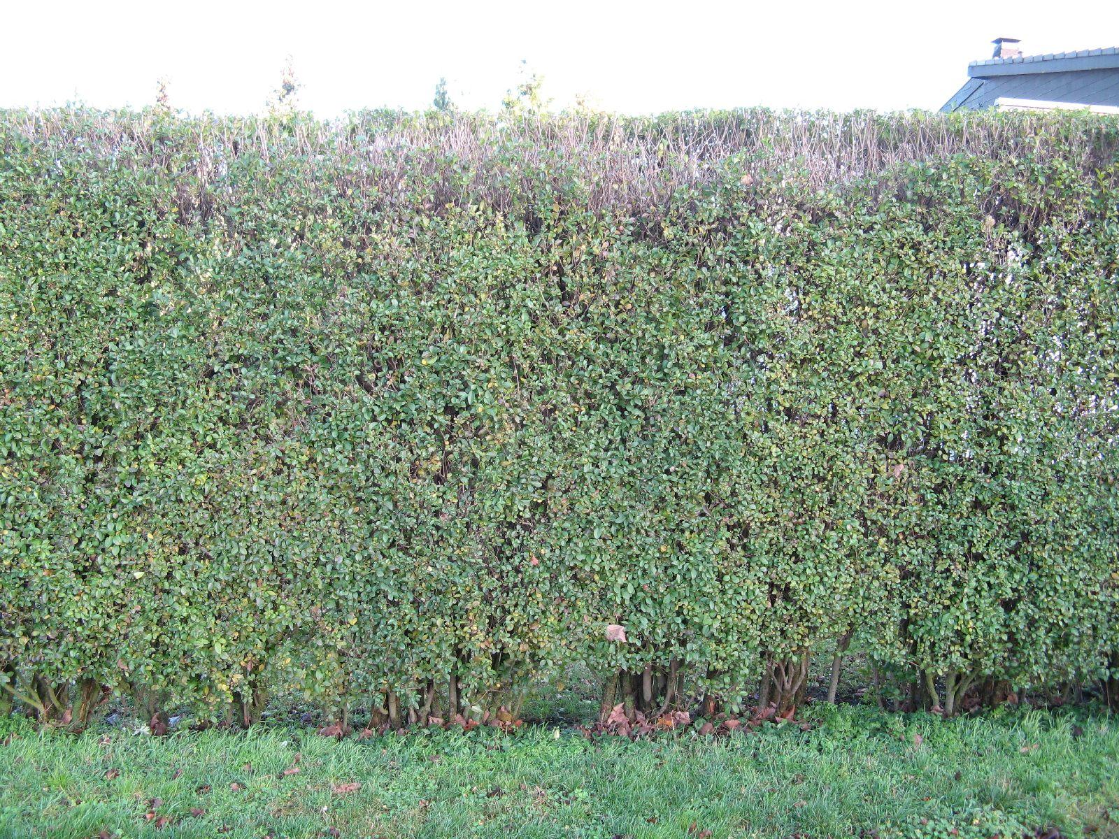 Pflanzen-Hecken-Foto_Textur_B_12220