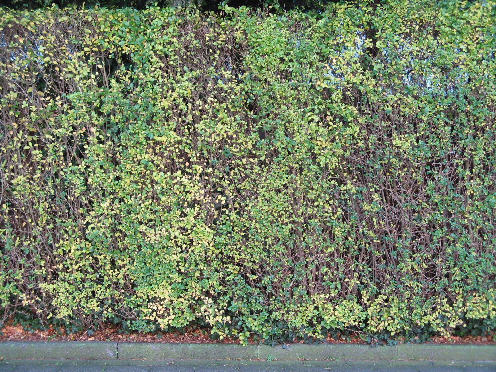 Pflanzen-Hecken-Foto_Textur_B_12360