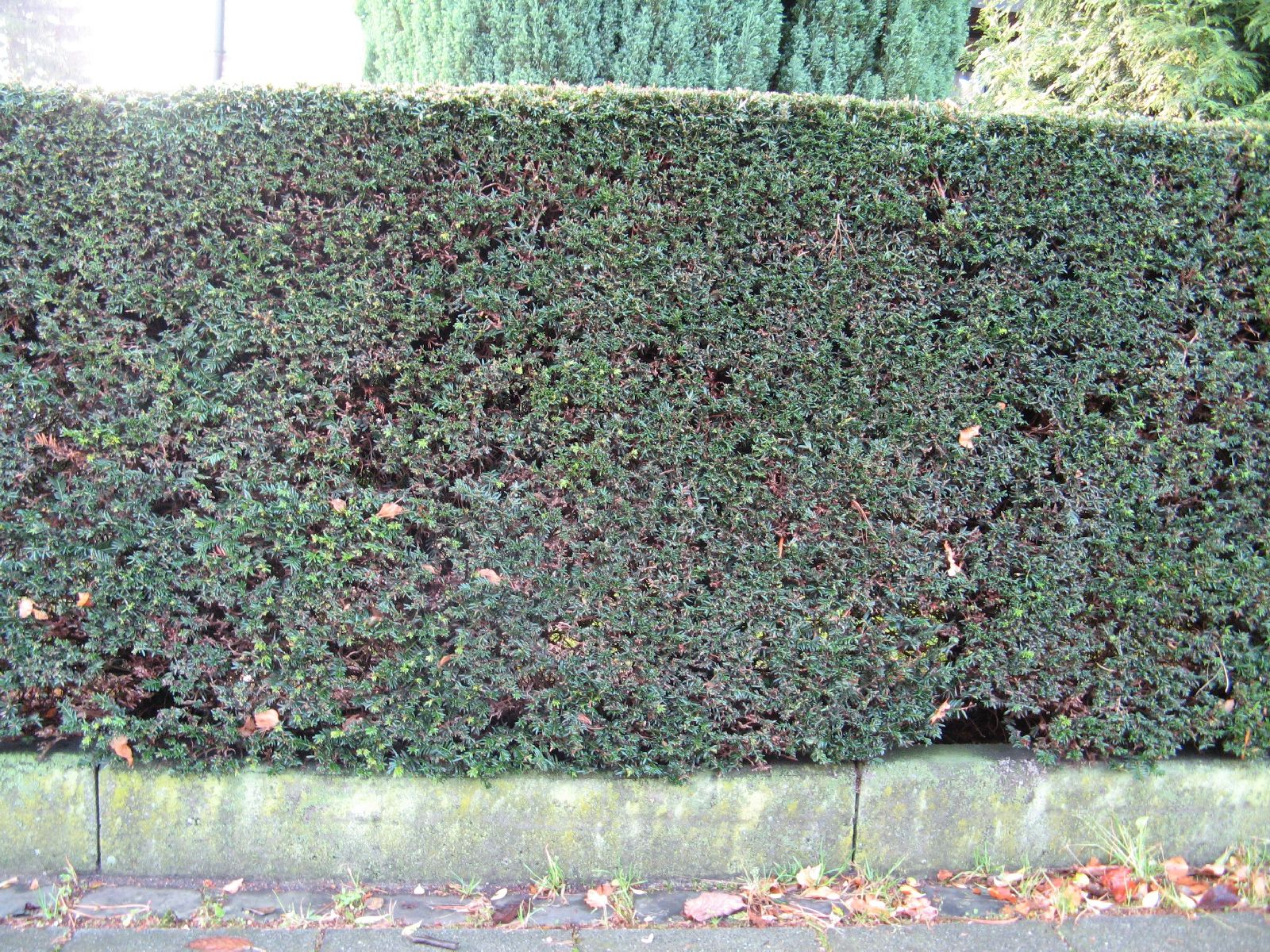 Pflanzen-Hecken-Foto_Textur_B_12390
