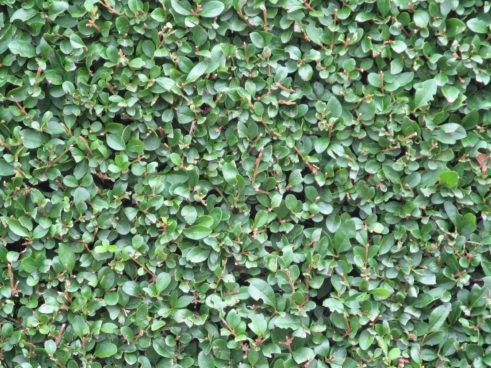 Pflanzen-Hecken-Foto_Textur_B_1656