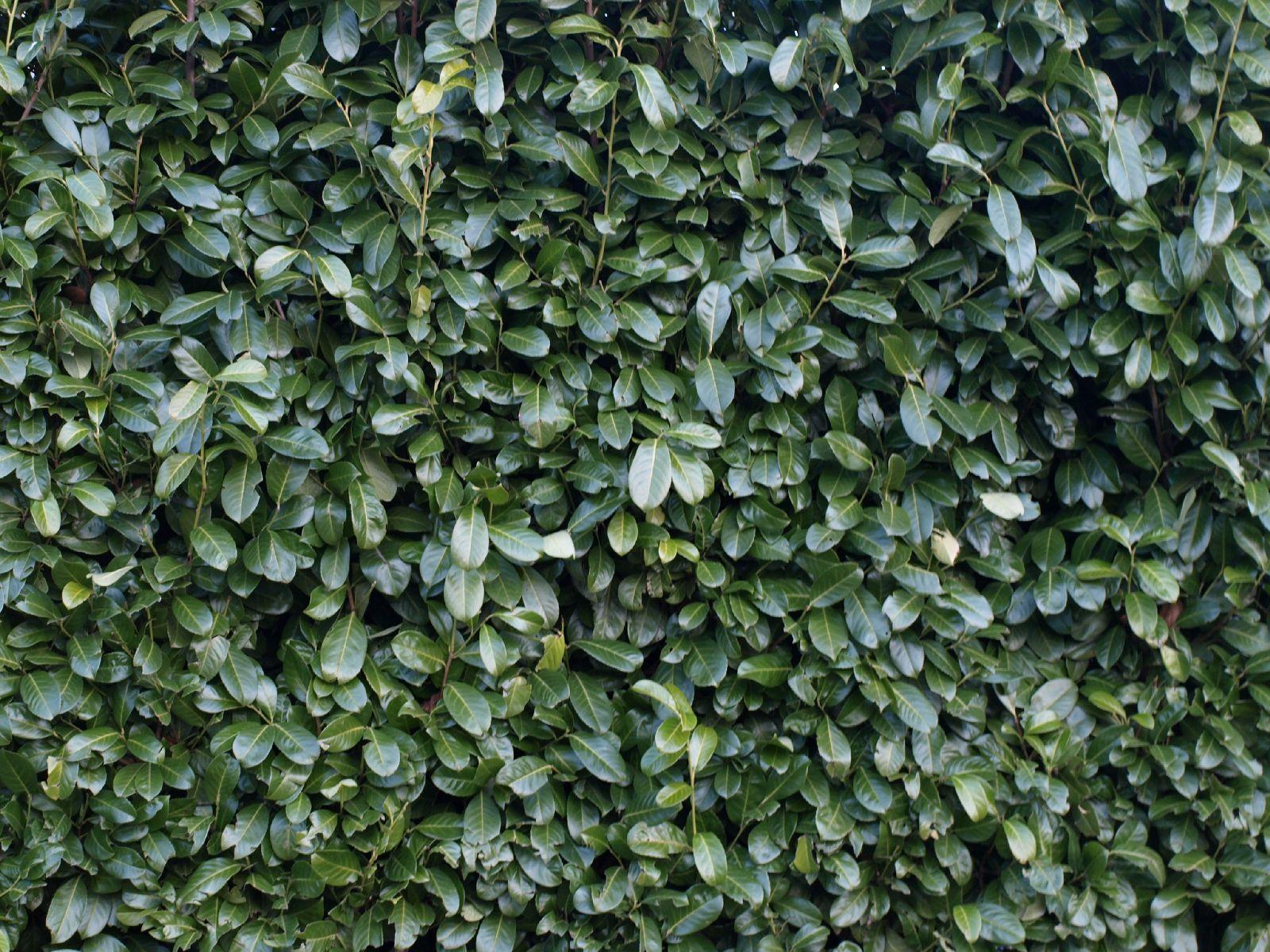 Pflanzen-Hecken-Foto_Textur_B_P1018638