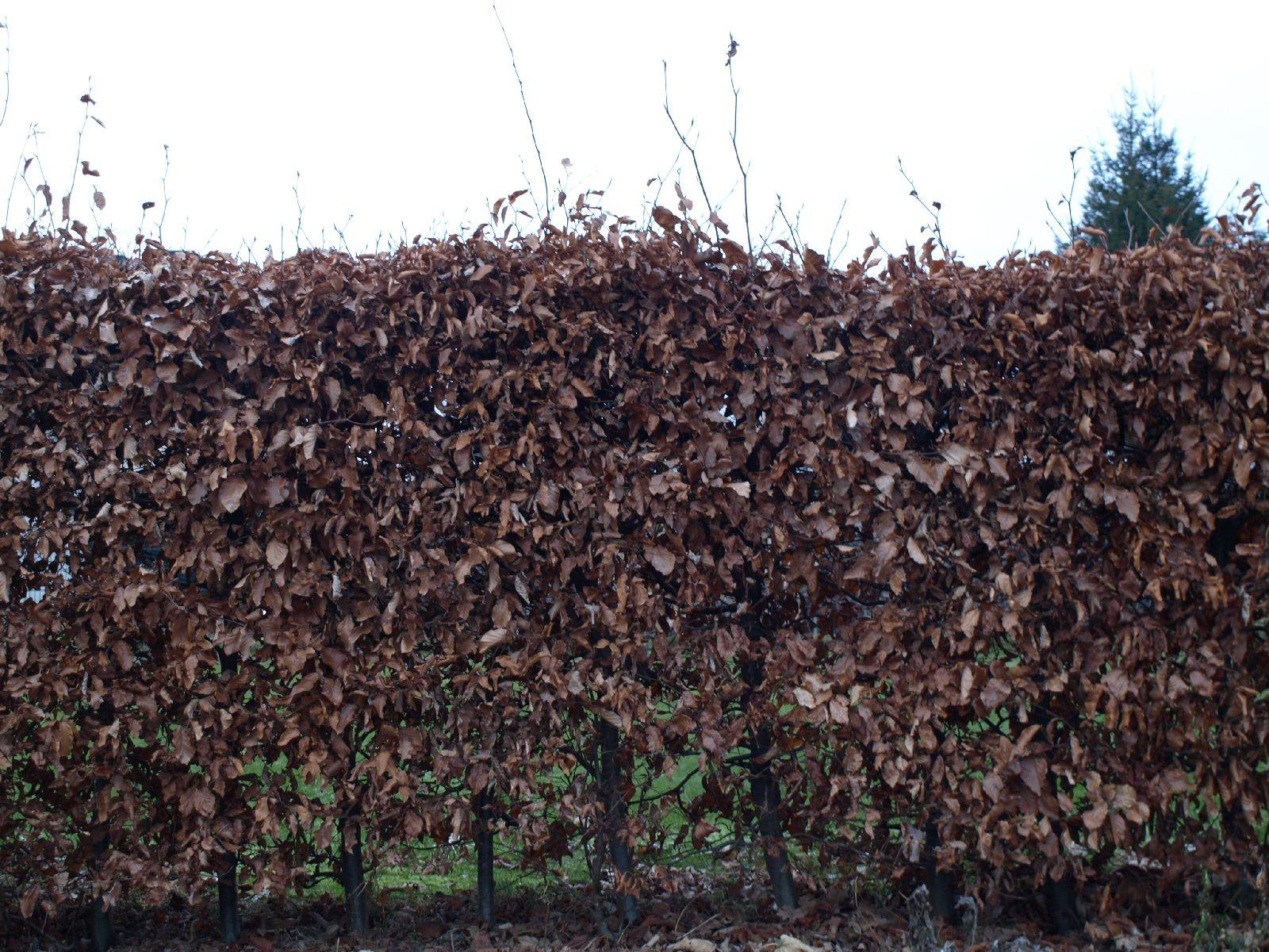 Pflanzen-Hecken-Foto_Textur_B_P1018670