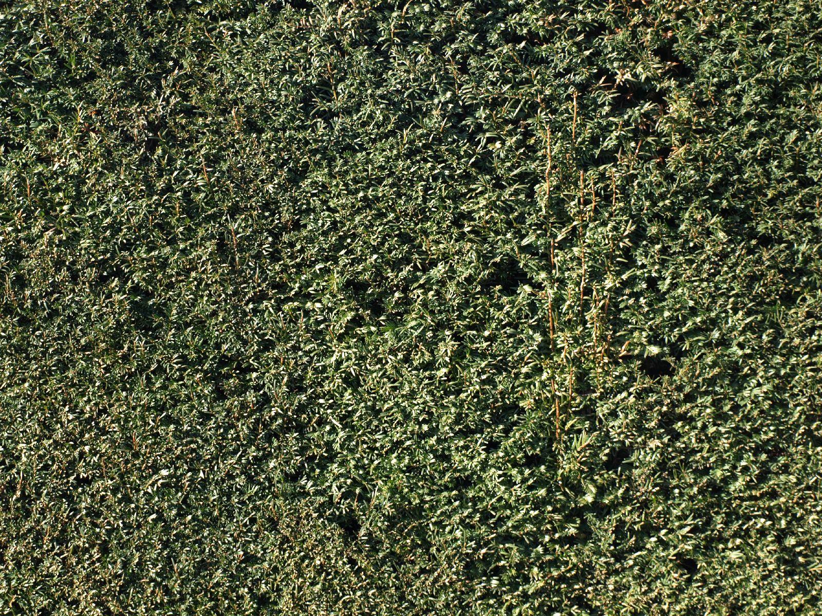 Pflanzen-Hecken-Foto_Textur_B_P1259964