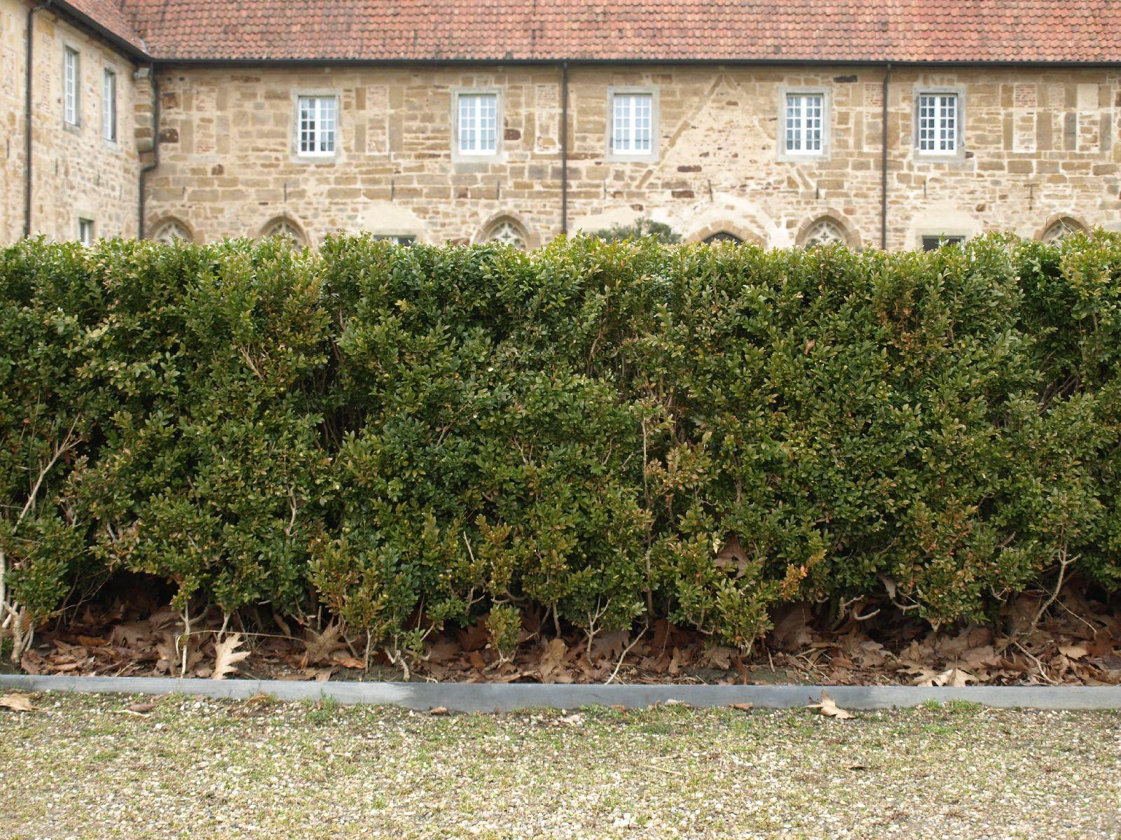 Pflanzen-Hecken-Foto_Textur_B_P3011022