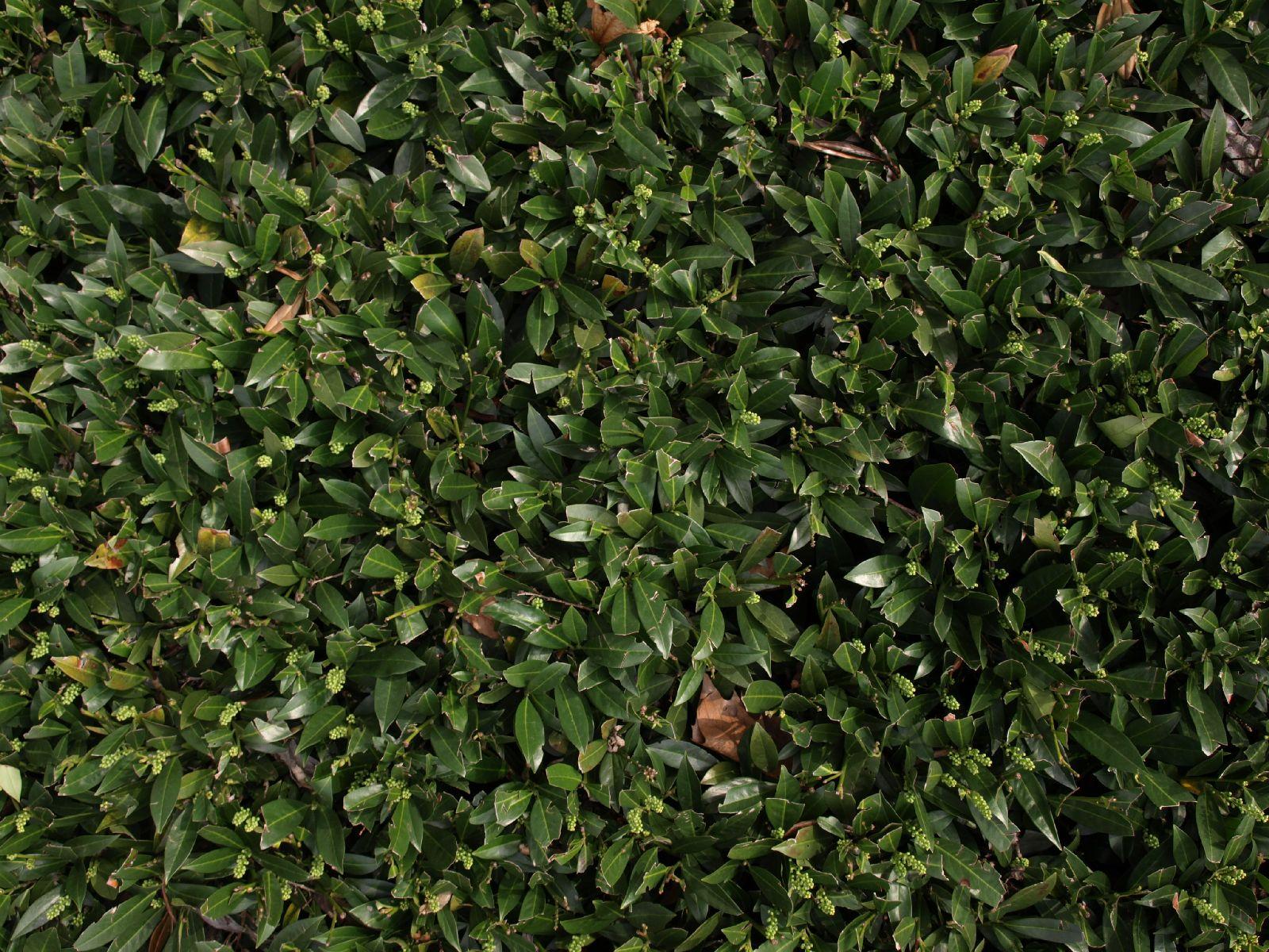 Pflanzen-Hecken-Foto_Textur_B_P4041495