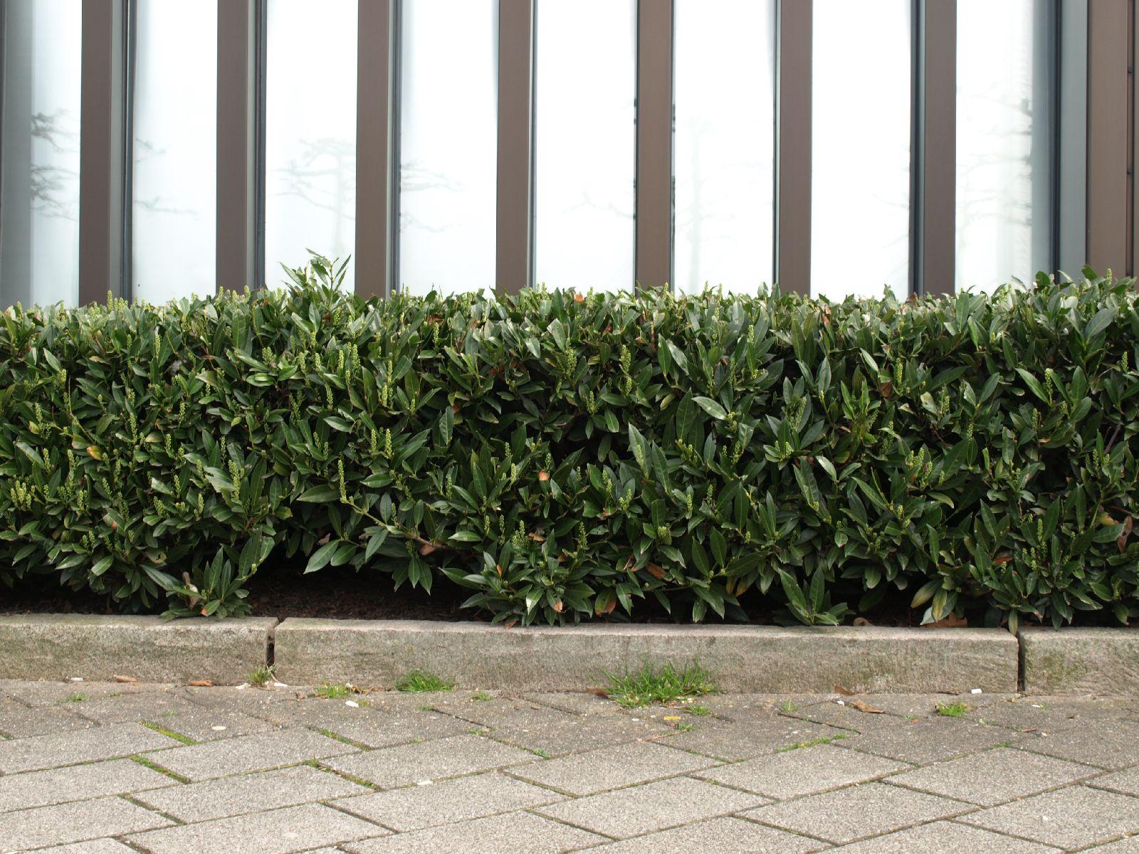 Pflanzen-Hecken-Foto_Textur_B_P4041498