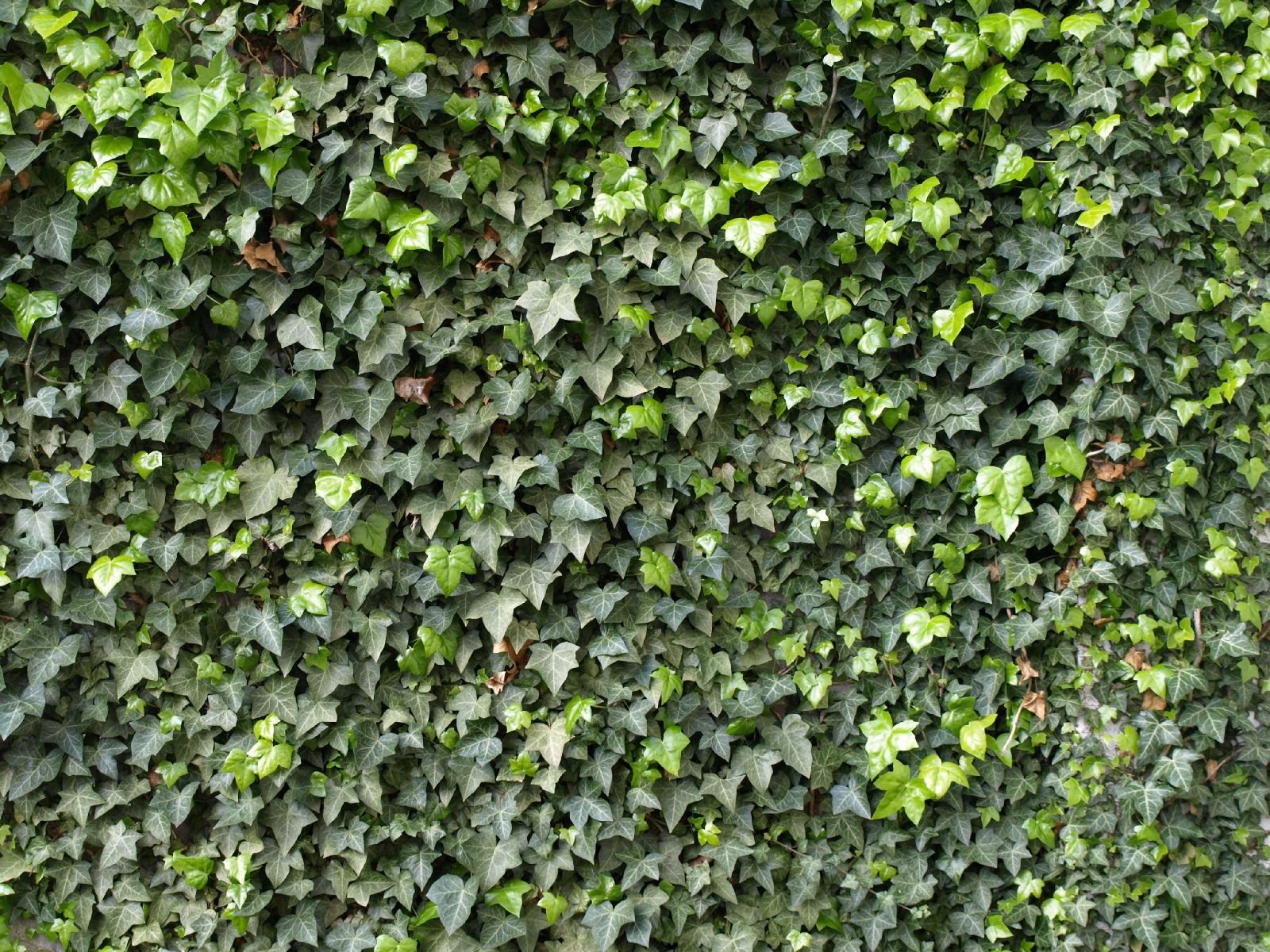 Pflanzen-Hecken-Foto_Textur_B_P4131129