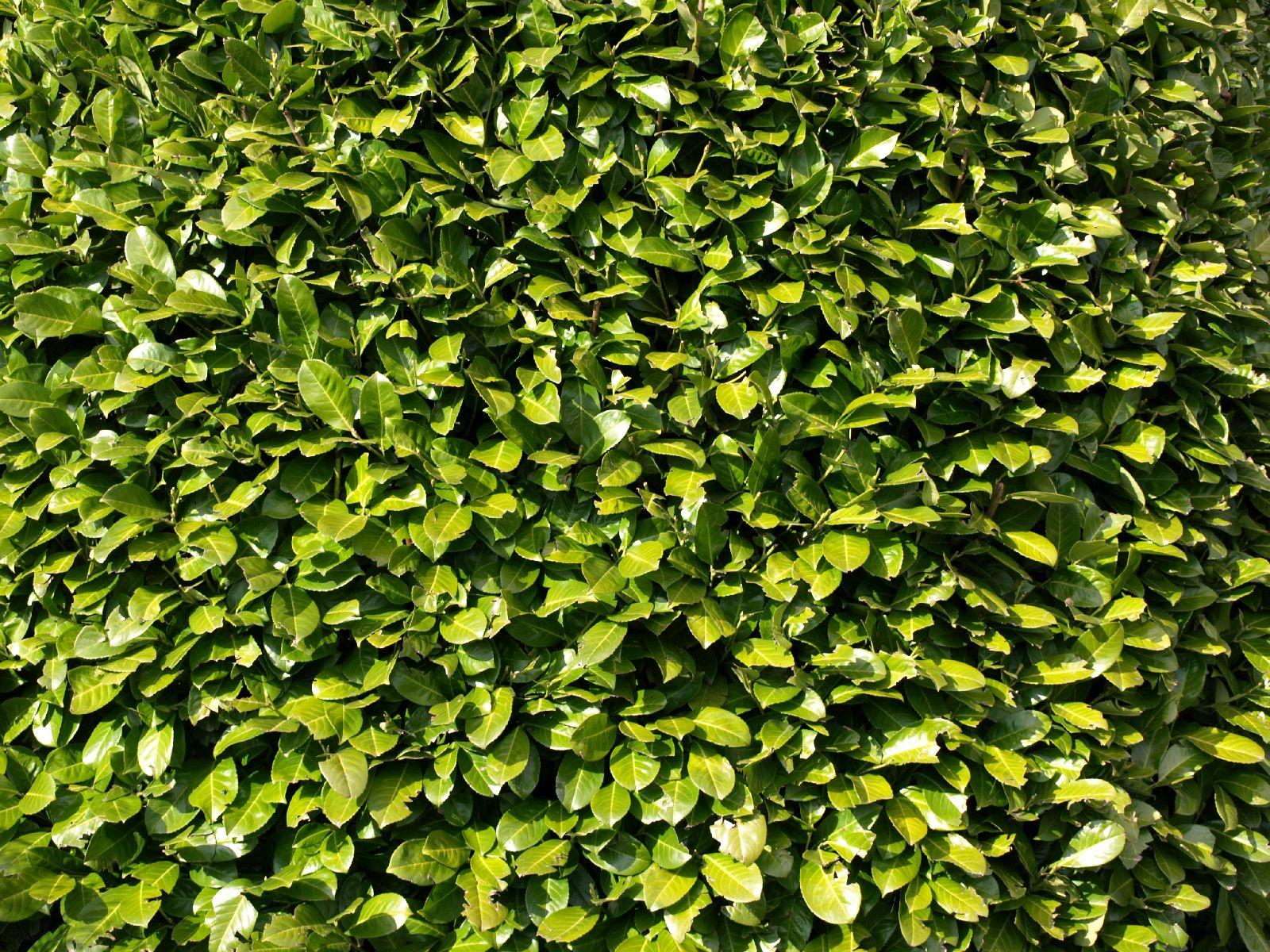 Pflanzen-Hecken-Foto_Textur_B_P4171311