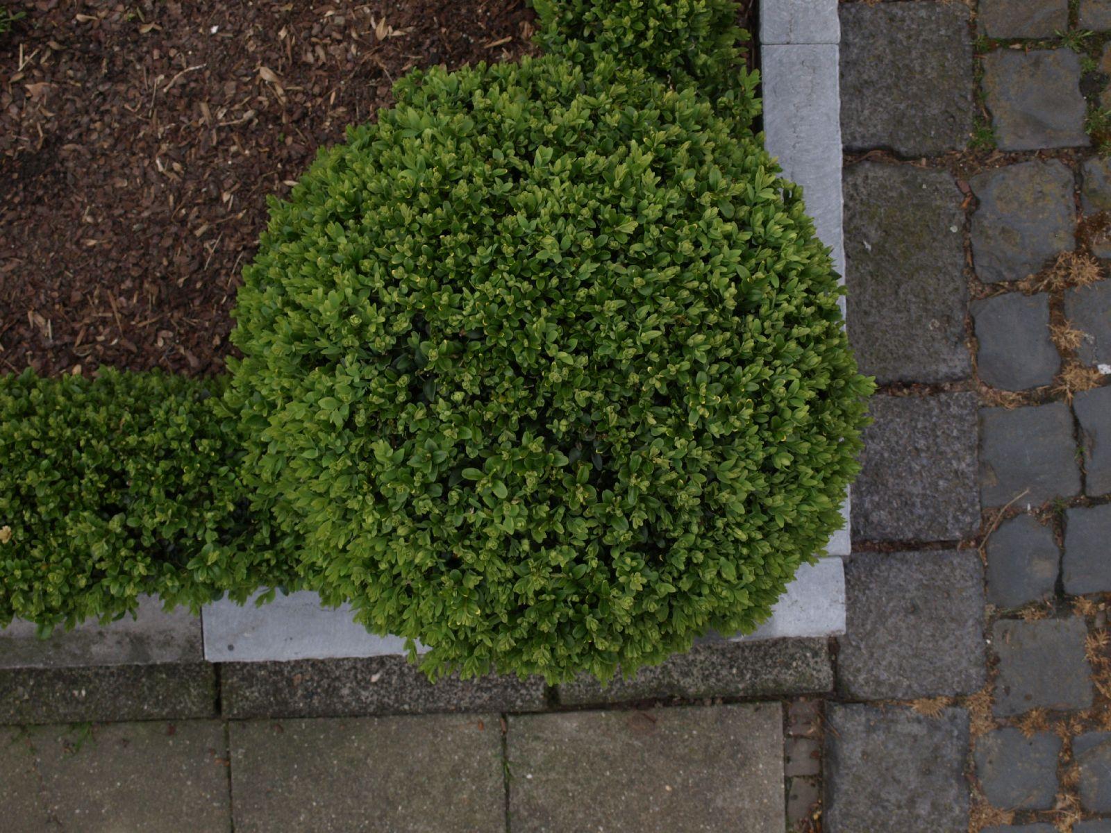 Pflanzen-Hecken-Foto_Textur_B_P4222565