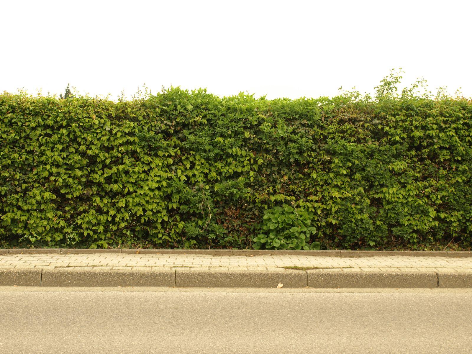 Pflanzen-Hecken-Foto_Textur_B_P4232651