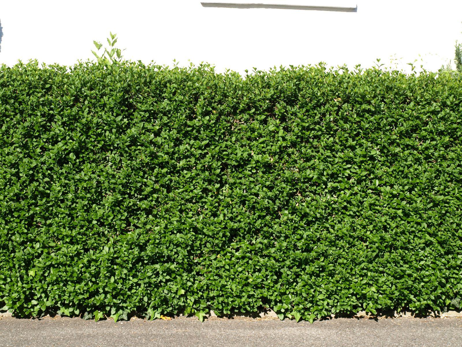 Pflanzen-Hecken-Foto_Textur_B_P5112629