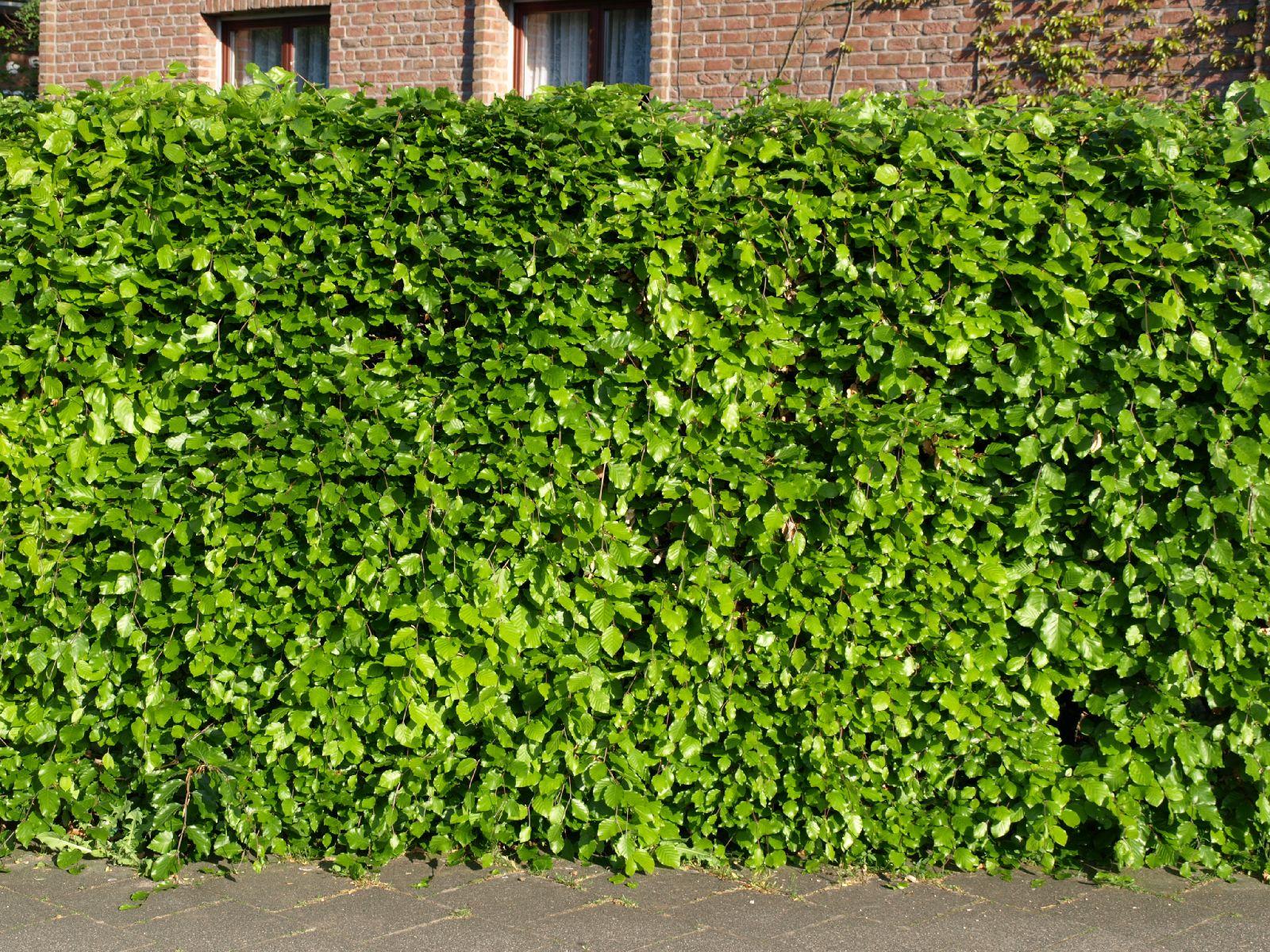 Pflanzen-Hecken-Foto_Textur_B_P5112647