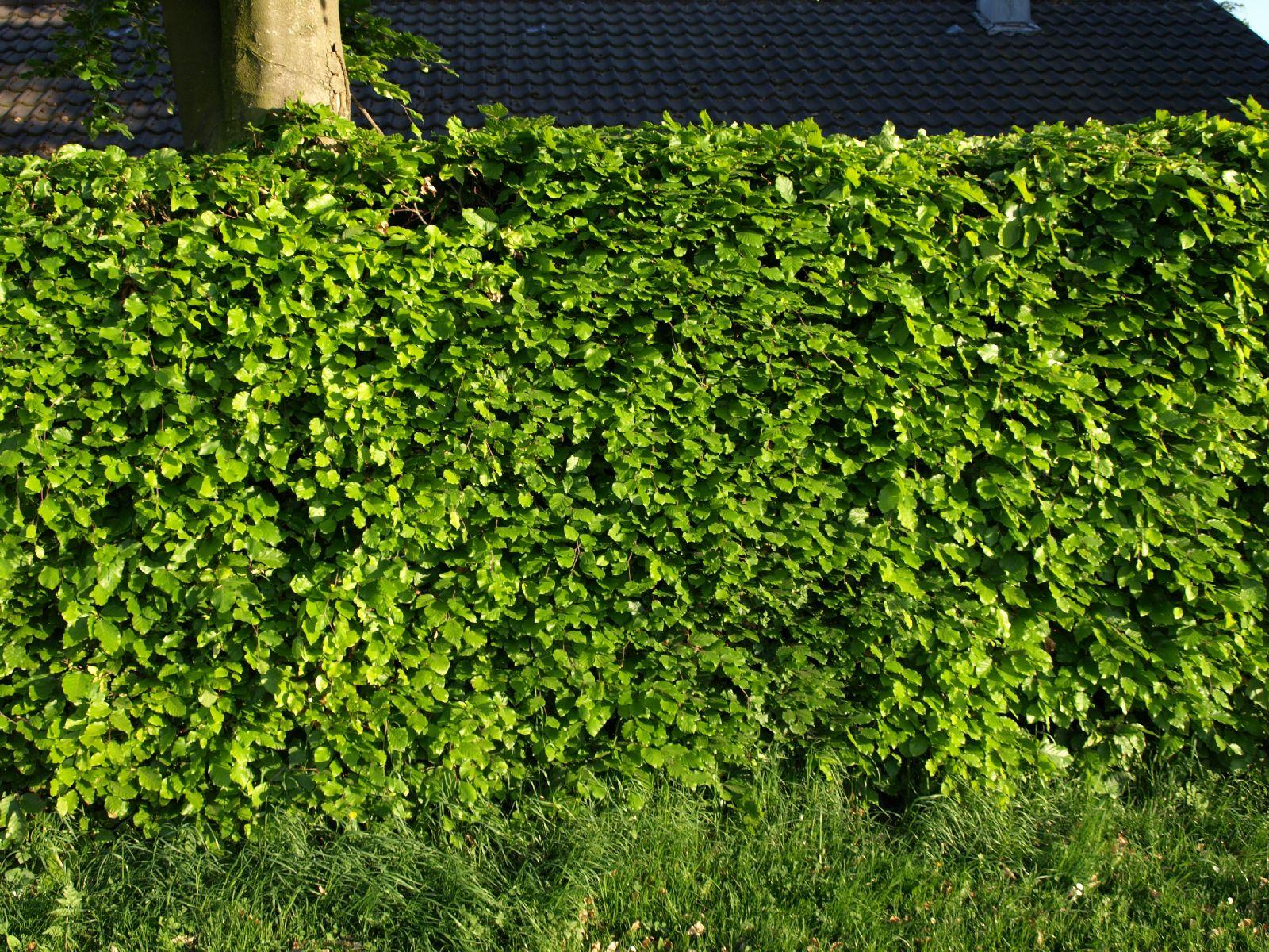 Pflanzen-Hecken-Foto_Textur_B_P5122719