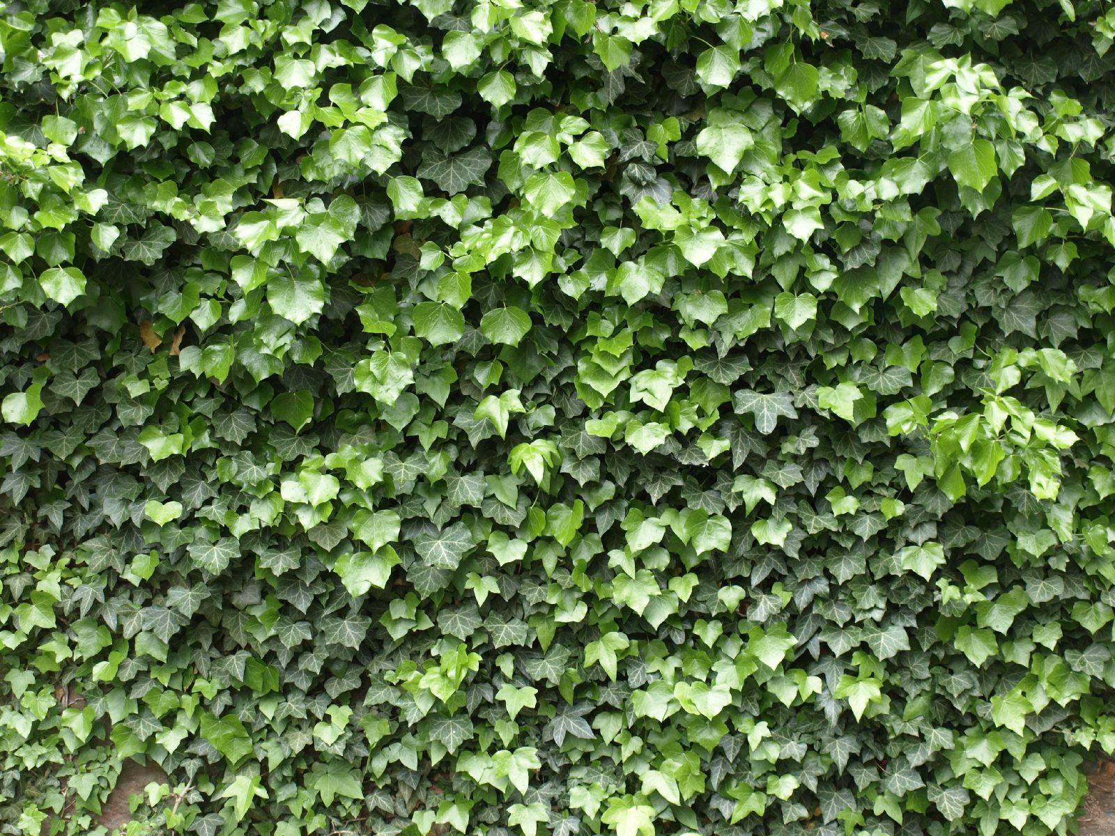 Pflanzen-Hecken-Foto_Textur_B_P5123677
