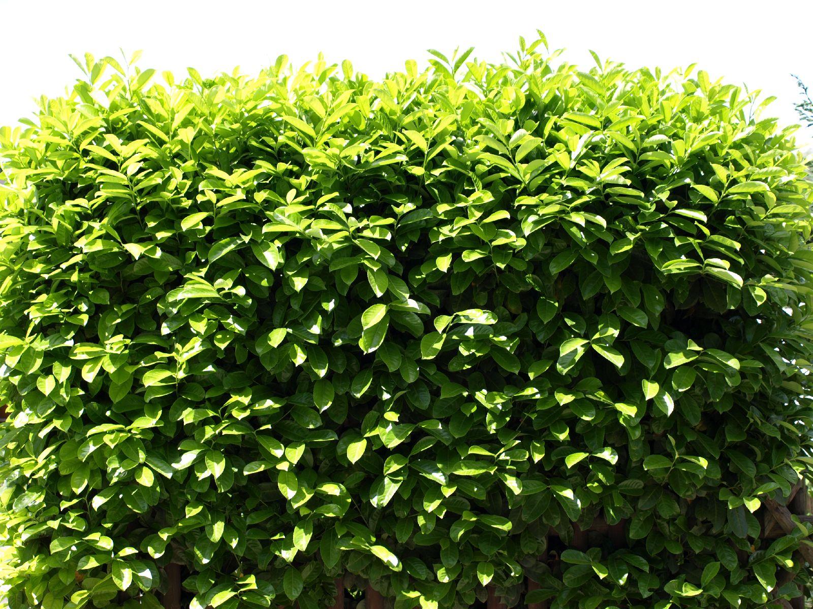 Pflanzen-Hecken-Foto_Textur_B_P6013231