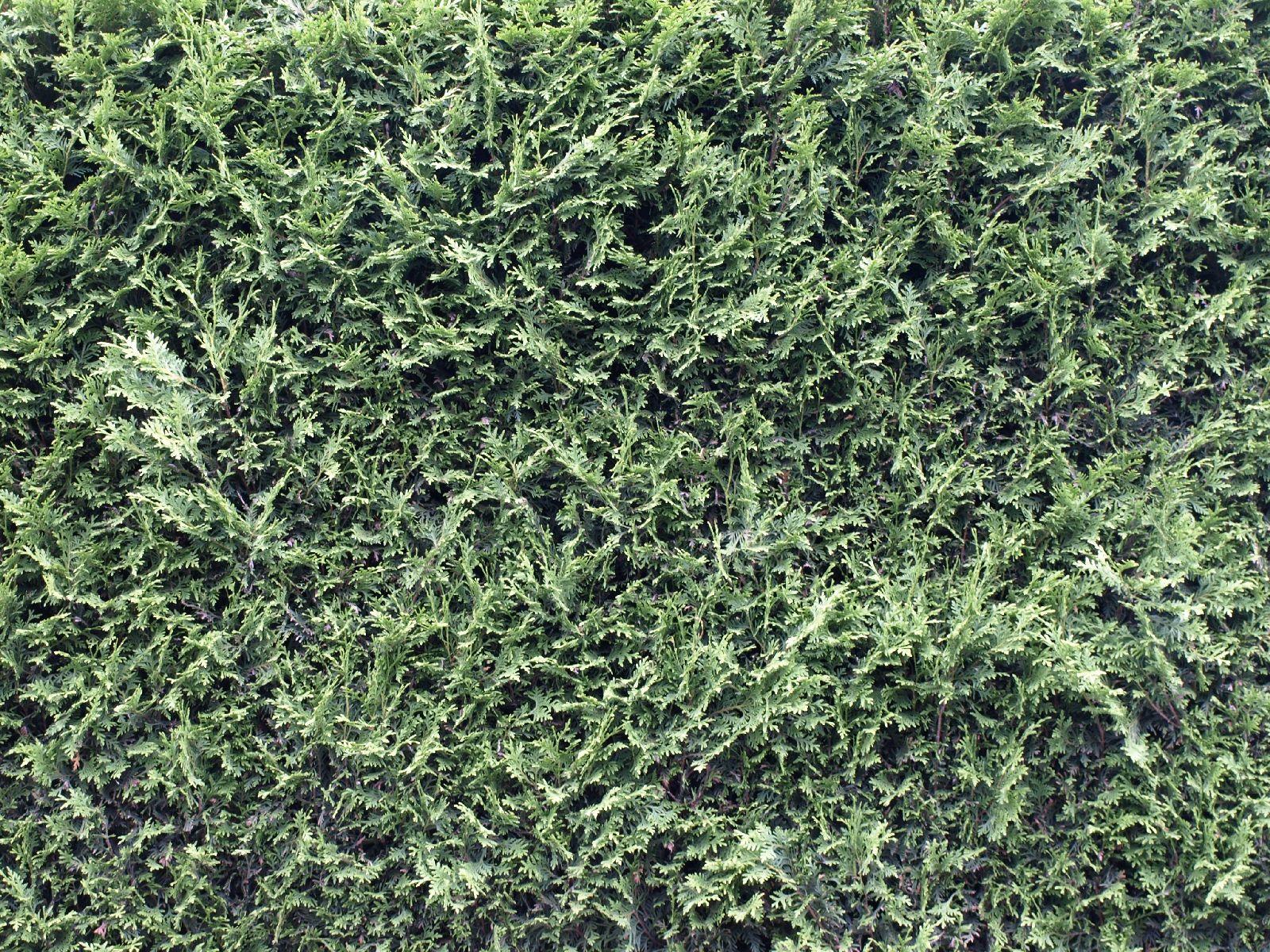 Pflanzen-Hecken-Foto_Textur_B_P6083311