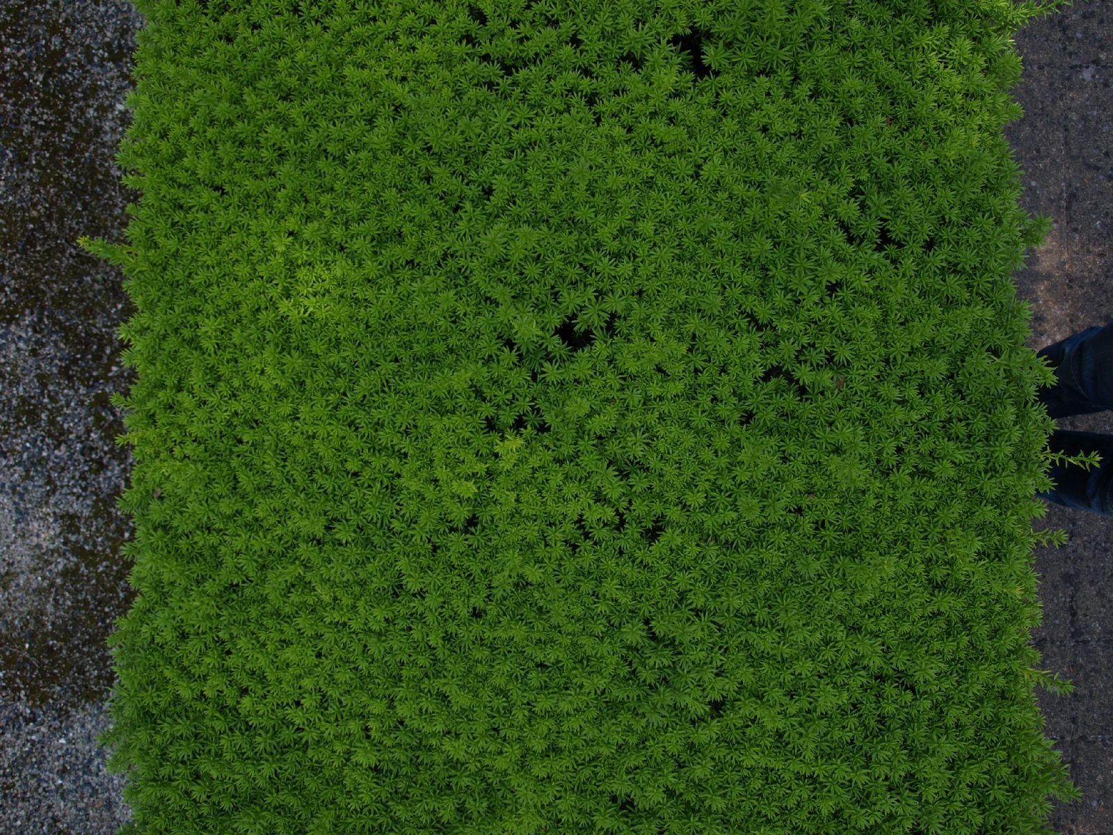 Pflanzen-Hecken-Foto_Textur_B_P6137318