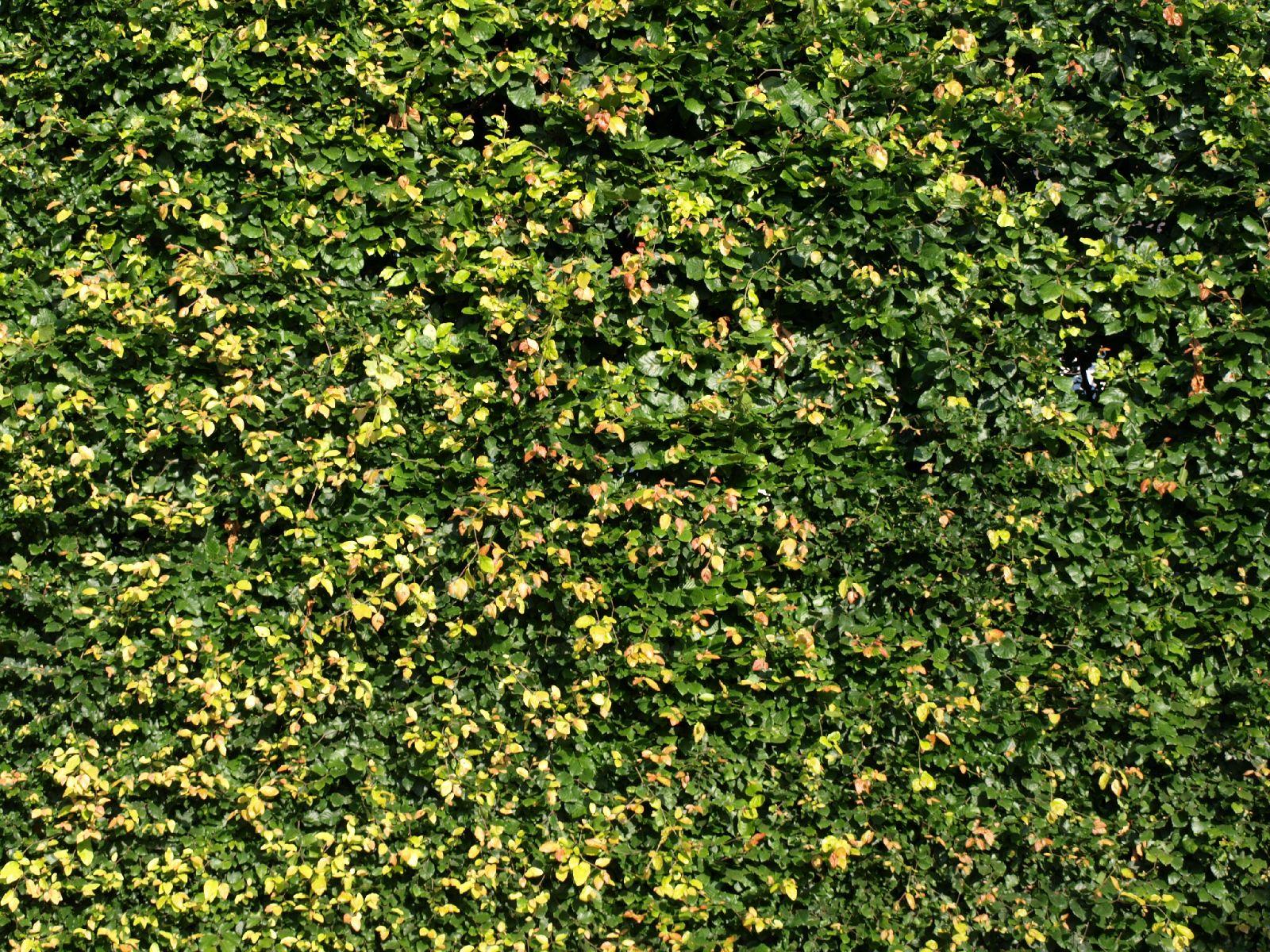 Pflanzen-Hecken-Foto_Textur_B_P6143356