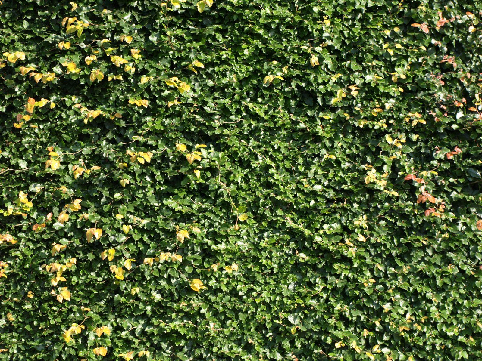 Pflanzen-Hecken-Foto_Textur_B_P6153419