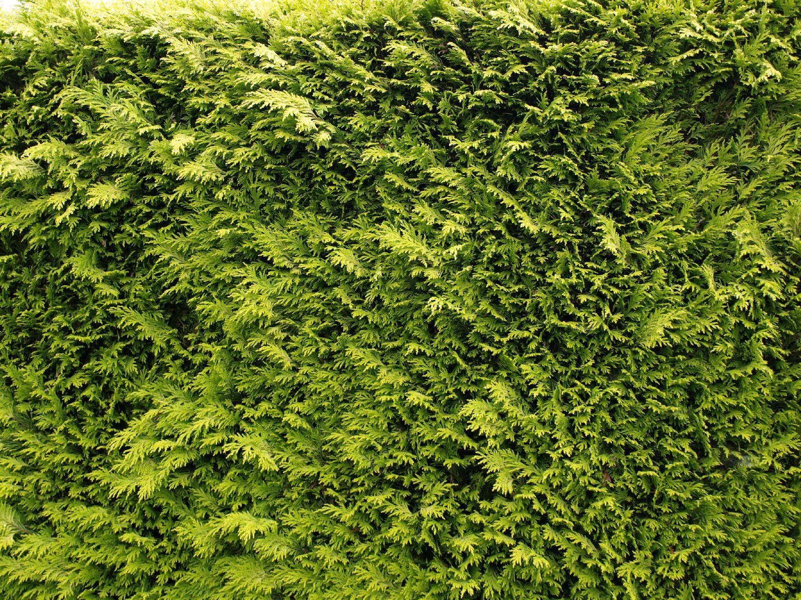 Pflanzen-Hecken-Foto_Textur_B_P6213543
