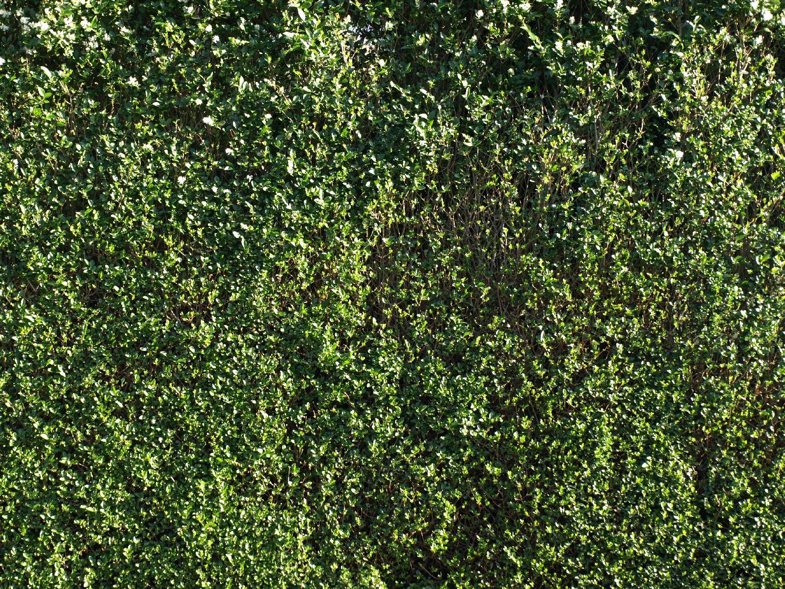 Pflanzen-Hecken-Foto_Textur_B_P6233710