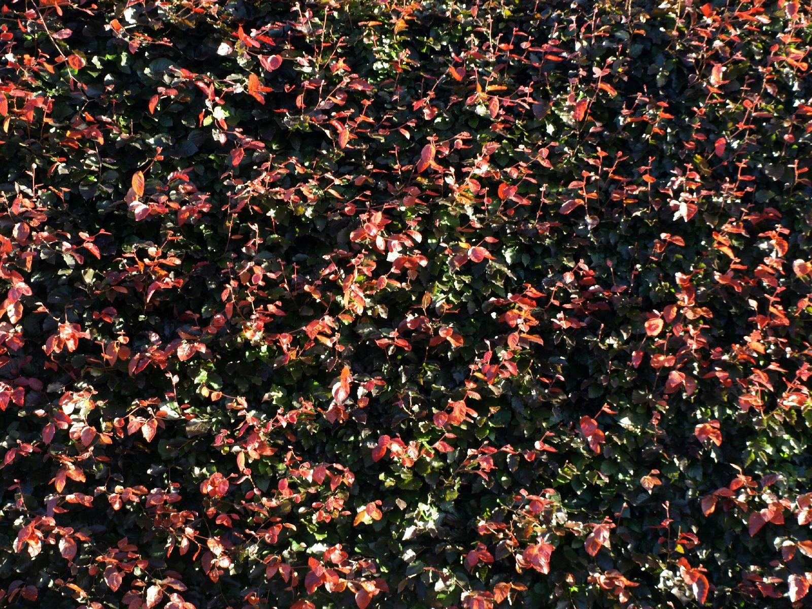 Pflanzen-Hecken-Foto_Textur_B_P6233712