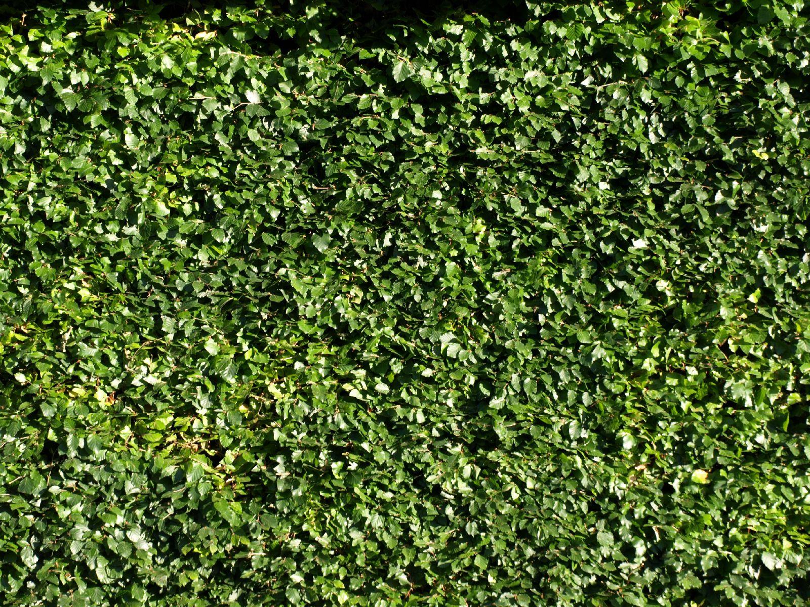 Pflanzen-Hecken-Foto_Textur_B_P6233716