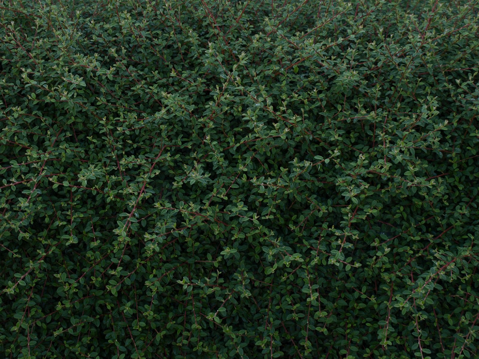 Pflanzen-Hecken-Foto_Textur_B_P7053952