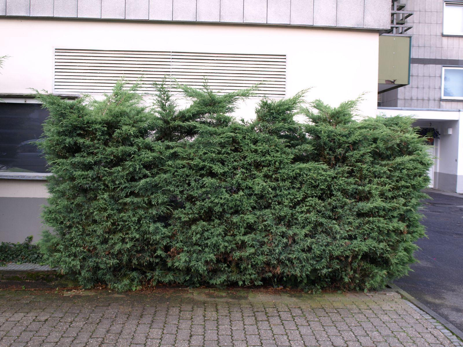 Pflanzen-Hecken-Foto_Textur_B_P7103982