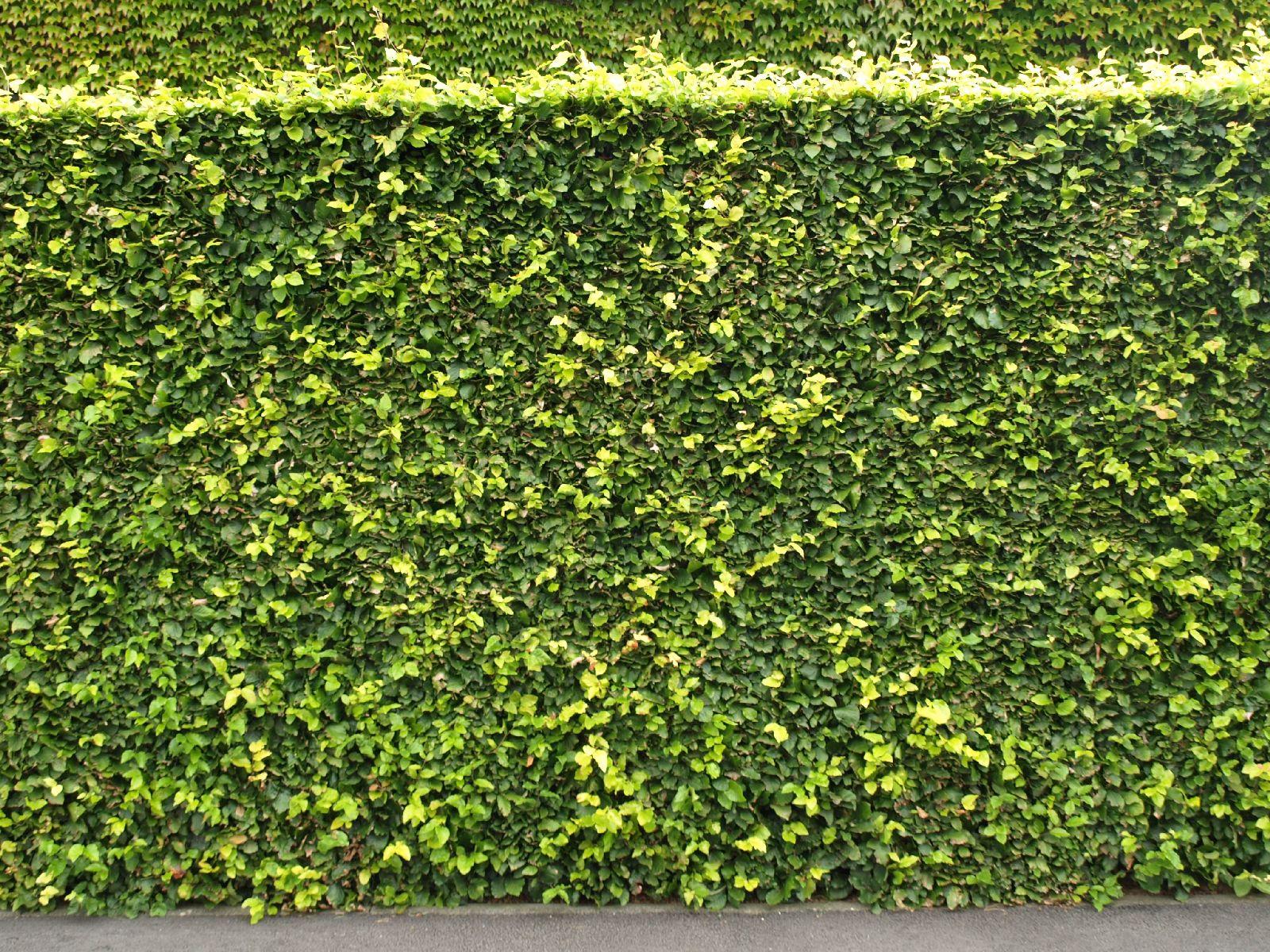 Pflanzen-Hecken-Foto_Textur_B_P8174463