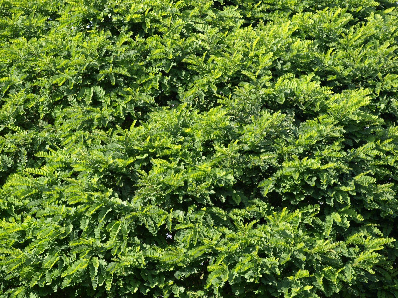Pflanzen-Hecken-Foto_Textur_B_P9205285
