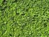 Pflanzen-Hecken-Foto_Textur_B_00756