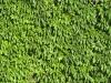 Pflanzen-Hecken-Foto_Textur_B_00757