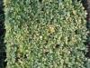 Pflanzen-Hecken-Foto_Textur_B_3837