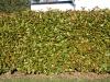 Pflanzen-Hecken-Foto_Textur_B_P1259961