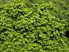 Pflanzen-Hecken-Foto_Textur_B_P4131056